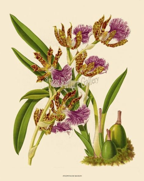 Fine art print of the Orchid Zygopetalum Mackayi by John Nugent Fitch